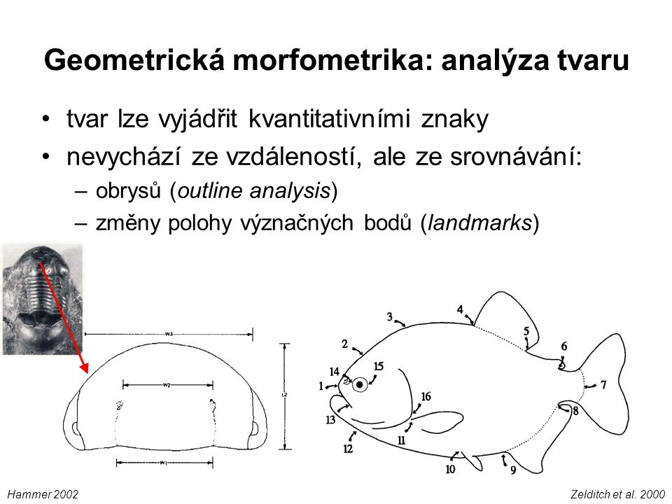Geometrická morfometrika: analýza tvaru tvar lze vyjádřit kvantitativními znaky nevychází ze vzdáleností, ale ze srovnávání: –obrysů (outline analysis) –změny polohy význačných bodů (landmarks) Zelditch et al.