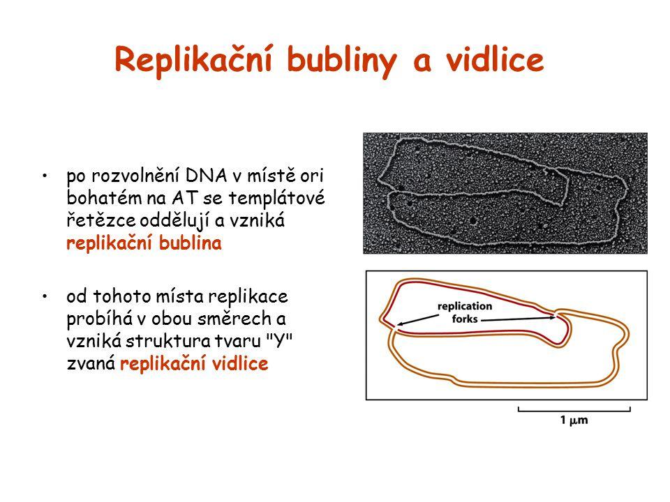 Replikační bubliny a vidlice po rozvolnění DNA v místě ori bohatém na AT se templátové řetězce oddělují a vzniká replikační bublina od tohoto místa re