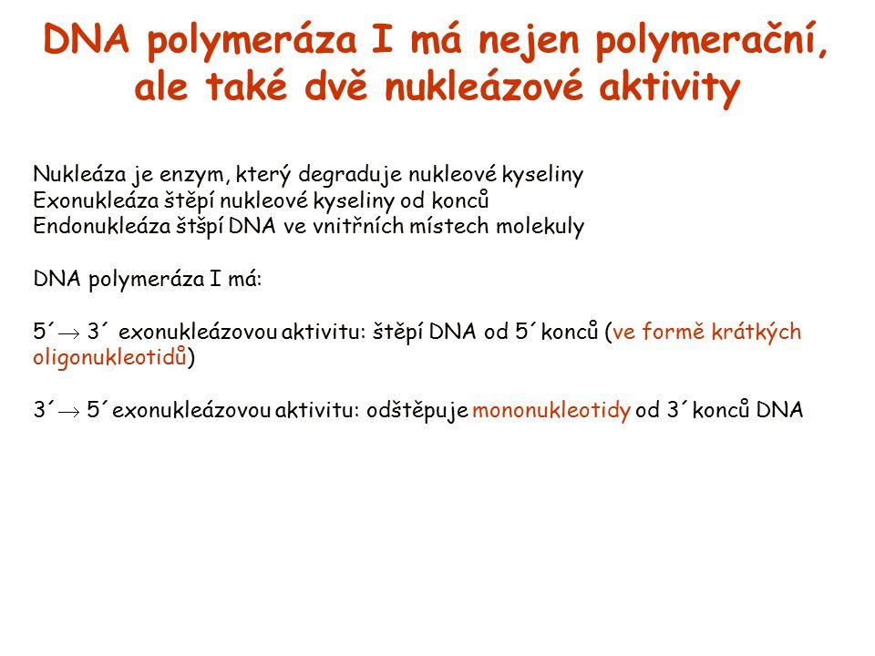 DNA polymeráza I má nejen polymerační, ale také dvě nukleázové aktivity Nukleáza je enzym, který degraduje nukleové kyseliny Exonukleáza štěpí nukleov