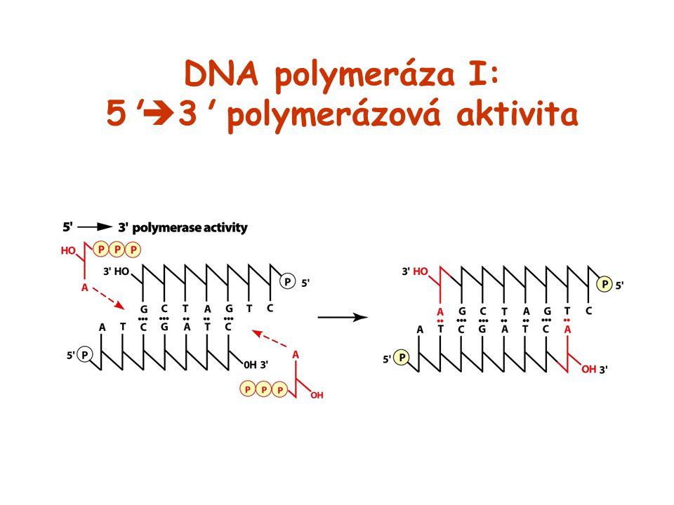 DNA polymeráza I: 5'  3' polymerázová aktivita