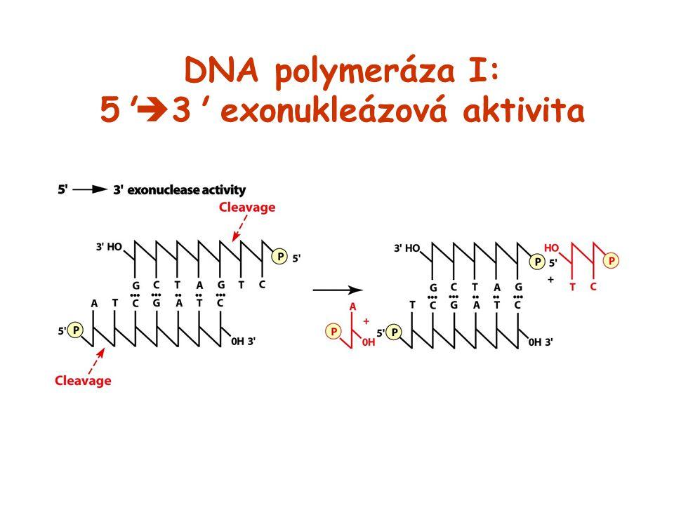 DNA polymeráza I: 5'  3' exonukleázová aktivita