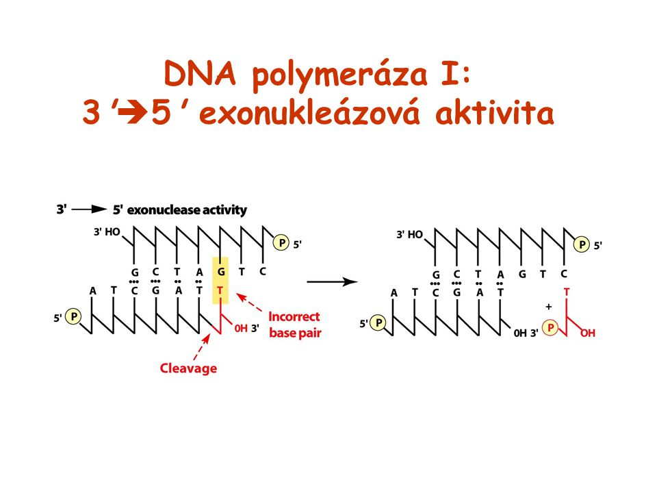 DNA polymeráza I: 3'  5' exonukleázová aktivita