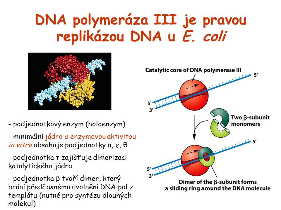 DNA polymeráza III je pravou replikázou DNA u E. coli - podjednotkový enzym (holoenzym) - minimální jádro s enzymovou aktivitou in vitro obsahuje podj