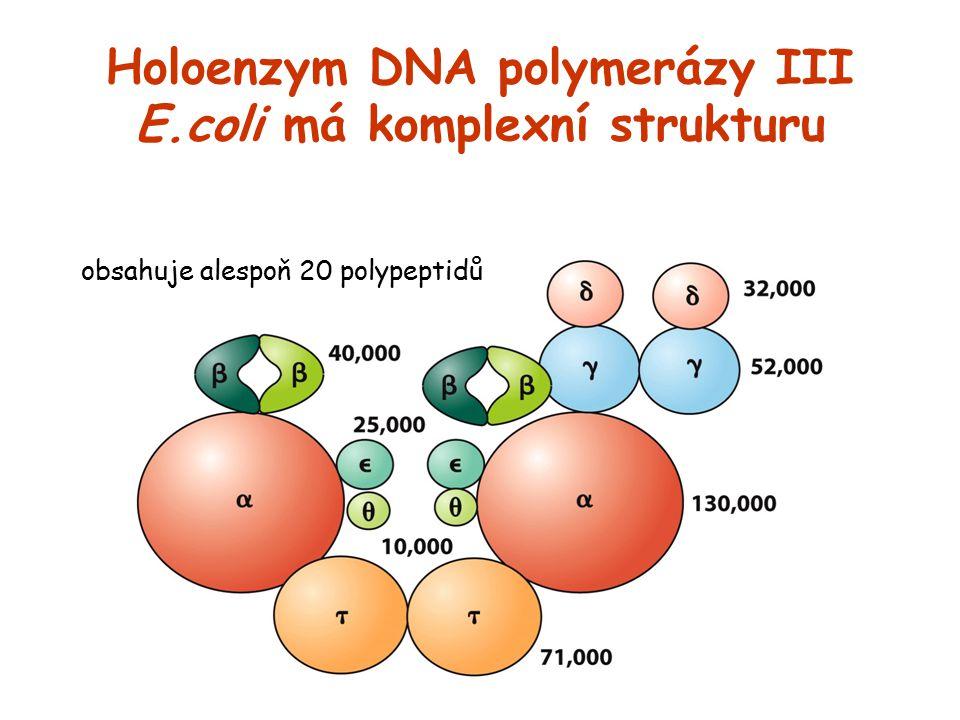 Holoenzym DNA polymerázy III E.coli má komplexní strukturu obsahuje alespoň 20 polypeptidů