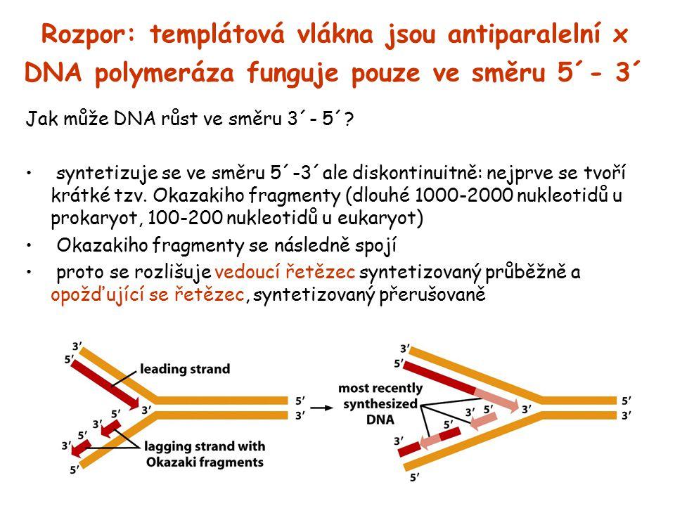 Rozpor: templátová vlákna jsou antiparalelní x DNA polymeráza funguje pouze ve směru 5´- 3´ Jak může DNA růst ve směru 3´- 5´? syntetizuje se ve směru