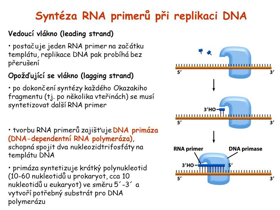 Syntéza RNA primerů při replikaci DNA Vedoucí vlákno (leading strand) postačuje jeden RNA primer na začátku templátu, replikace DNA pak probíhá bez př