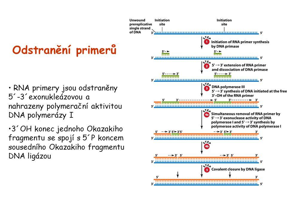 Odstranění primerů RNA primery jsou odstraněny 5´-3´exonukleázovou a nahrazeny polymerační aktivitou DNA polymerázy I 3´OH konec jednoho Okazakiho fra