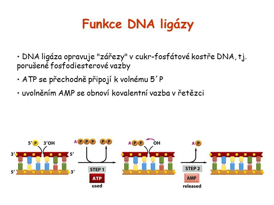 Funkce DNA ligázy DNA ligáza opravuje