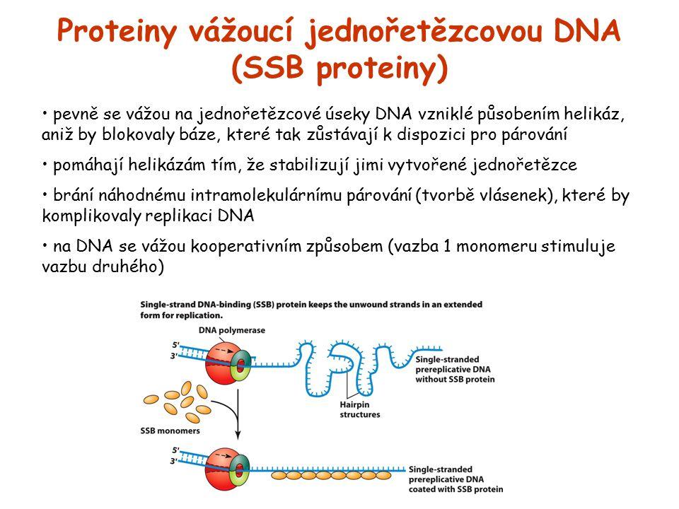 Proteiny vážoucí jednořetězcovou DNA (SSB proteiny) pevně se vážou na jednořetězcové úseky DNA vzniklé působením helikáz, aniž by blokovaly báze, kter