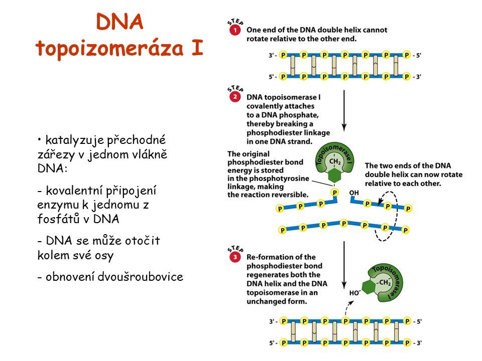 DNA topoizomeráza I katalyzuje přechodné zářezy v jednom vlákně DNA: - kovalentní připojení enzymu k jednomu z fosfátů v DNA - DNA se může otočit kole