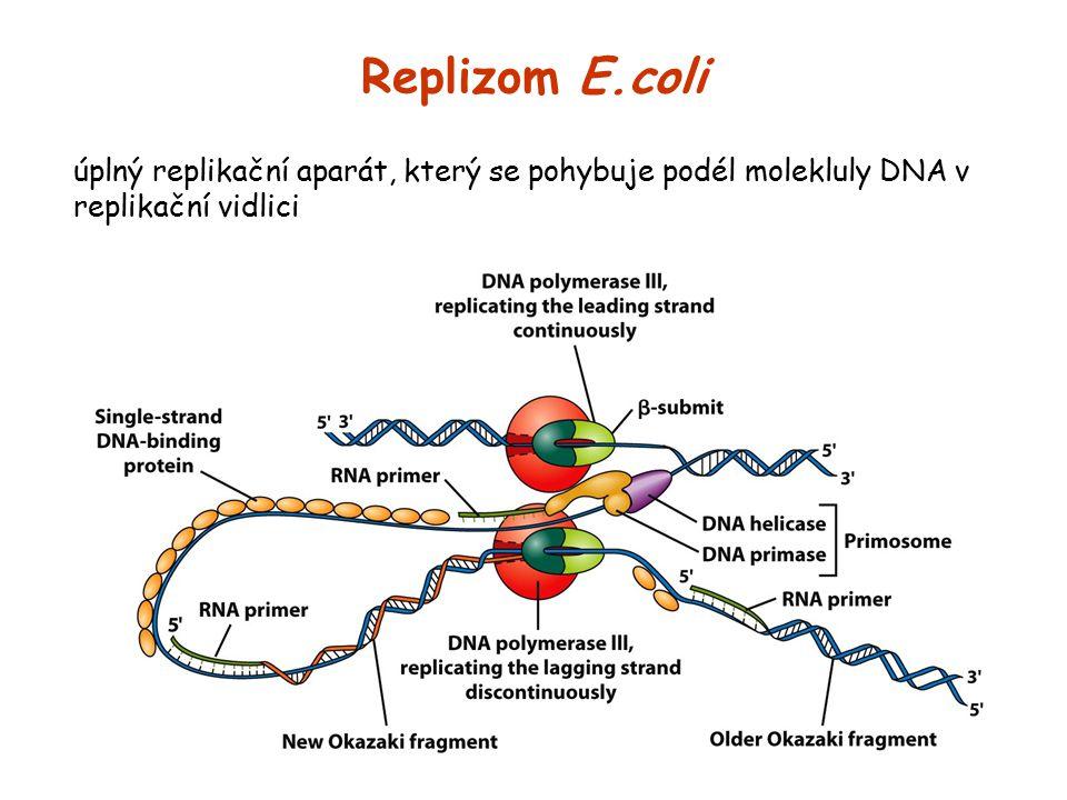 Replizom E.coli úplný replikační aparát, který se pohybuje podél molekluly DNA v replikační vidlici