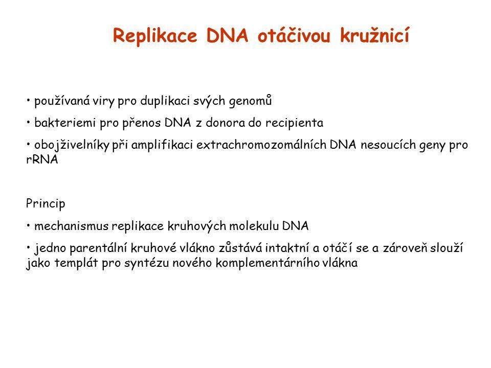 Replikace DNA otáčivou kružnicí používaná viry pro duplikaci svých genomů bakteriemi pro přenos DNA z donora do recipienta obojživelníky při amplifika