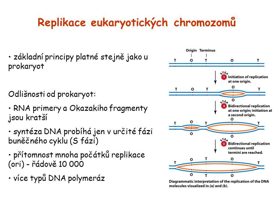 Replikace eukaryotických chromozomů základní principy platné stejně jako u prokaryot Odlišnosti od prokaryot: RNA primery a Okazakiho fragmenty jsou k