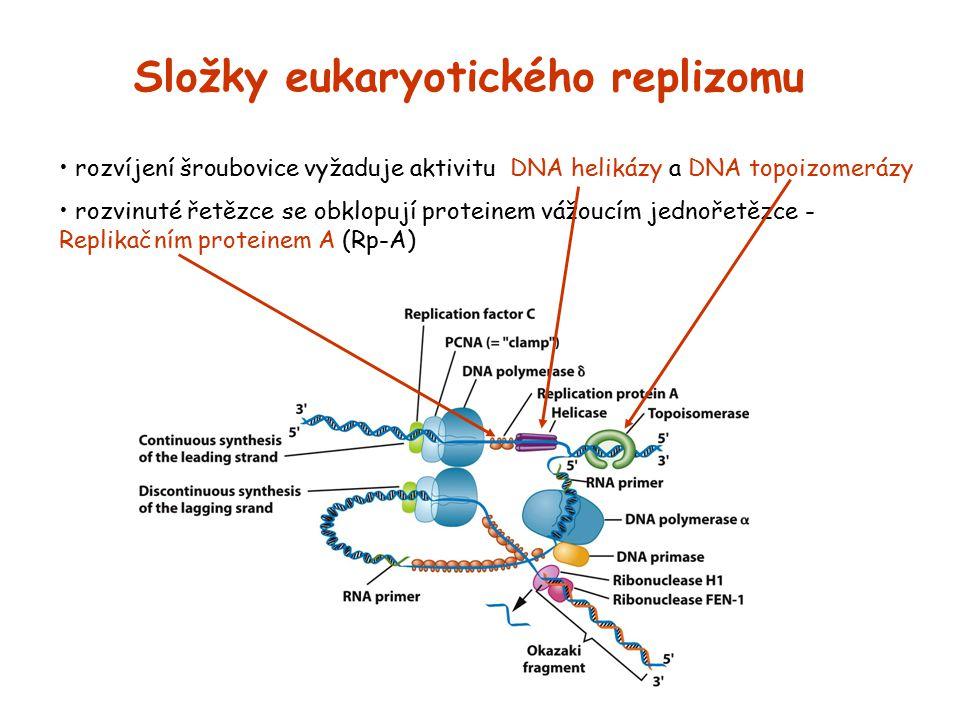 rozvíjení šroubovice vyžaduje aktivitu DNA helikázy a DNA topoizomerázy rozvinuté řetězce se obklopují proteinem vážoucím jednořetězce - Replikačním p