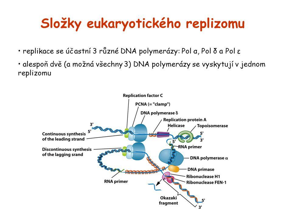 Složky eukaryotického replizomu replikace se účastní 3 různé DNA polymerázy: Pol α, Pol δ a Pol ε alespoň dvě (a možná všechny 3) DNA polymerázy se vy