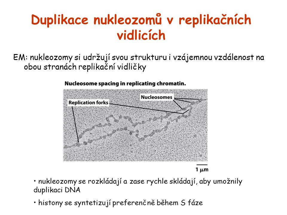 Duplikace nukleozomů v replikačních vidlicích EM: nukleozomy si udržují svou strukturu i vzájemnou vzdálenost na obou stranách replikační vidličky nuk