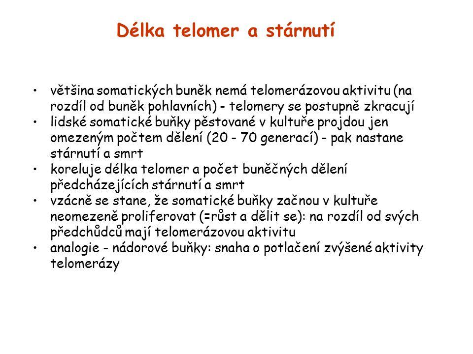 Délka telomer a stárnutí většina somatických buněk nemá telomerázovou aktivitu (na rozdíl od buněk pohlavních) - telomery se postupně zkracují lidské