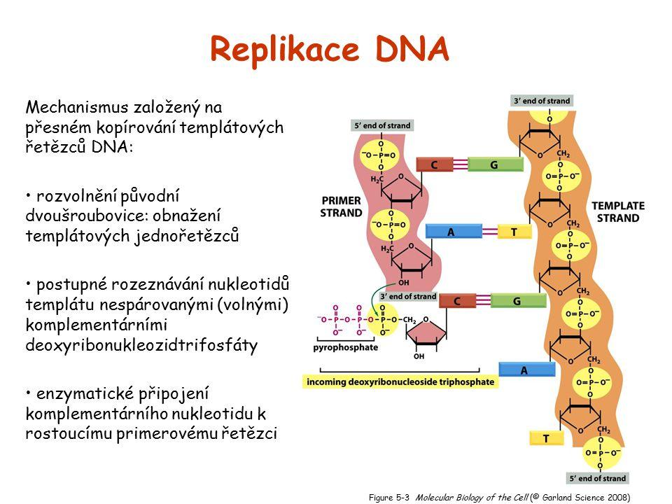 Replikace DNA Mechanismus založený na přesném kopírování templátových řetězců DNA: rozvolnění původní dvoušroubovice: obnažení templátových jednořetěz