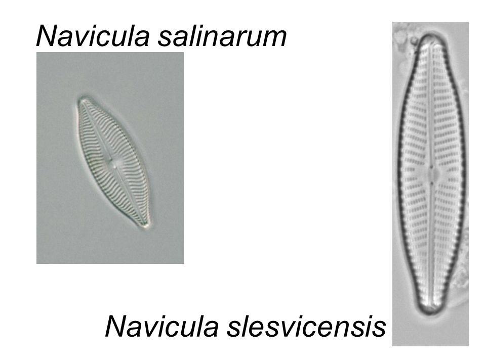Navicula salinarum Navicula slesvicensis