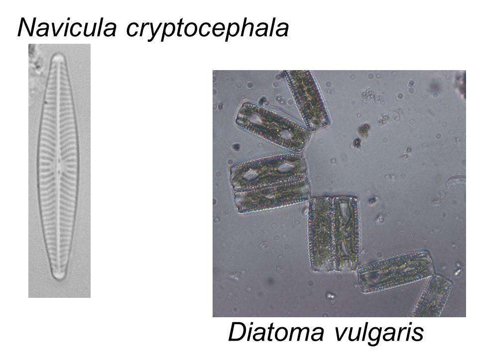 Navicula cryptocephala Diatoma vulgaris