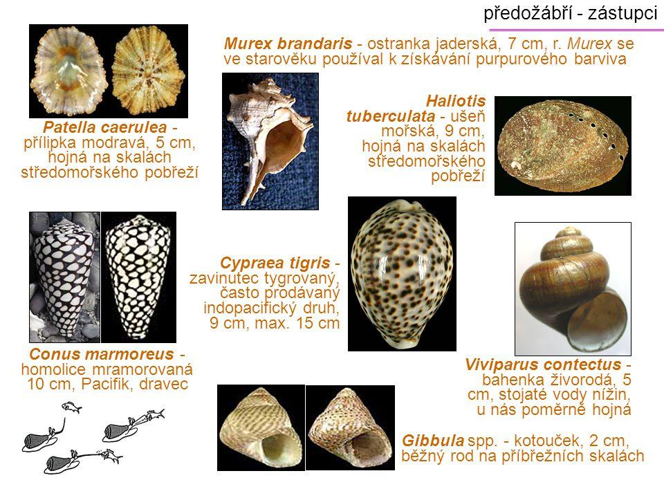 předožábří - zástupci Patella caerulea - přílipka modravá, 5 cm, hojná na skalách středomořského pobřeží Murex brandaris - ostranka jaderská, 7 cm, r.