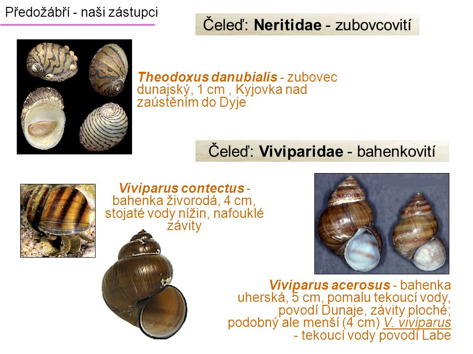 Předožábří - naši zástupci Čeleď: Neritidae - zubovcovití Theodoxus danubialis - zubovec dunajský, 1 cm, Kyjovka nad zaústěním do Dyje Čeleď: Vivipari
