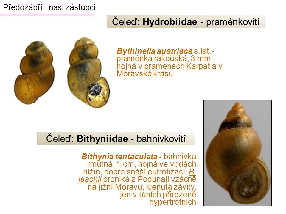 Čeleď: Hydrobiidae - praménkovití Bythinella austriaca s.lat.- praménka rakouská, 3 mm, hojná v pramenech Karpat a v Moravské krasu Bithynia tentacula