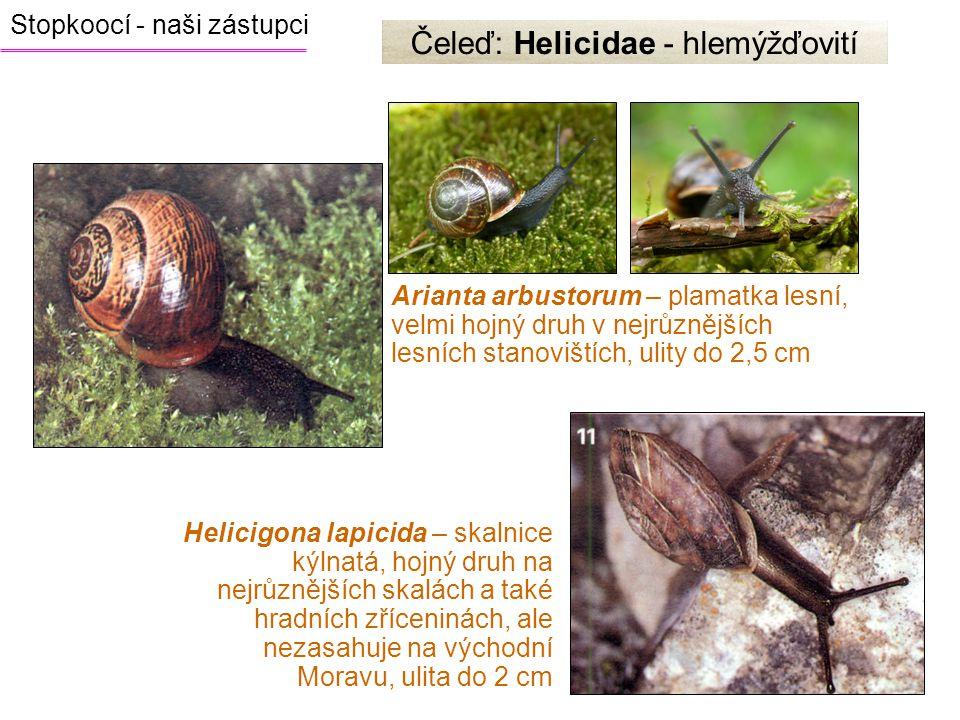 Arianta arbustorum – plamatka lesní, velmi hojný druh v nejrůznějších lesních stanovištích, ulity do 2,5 cm Čeleď: Helicidae - hlemýžďovití Helicigona