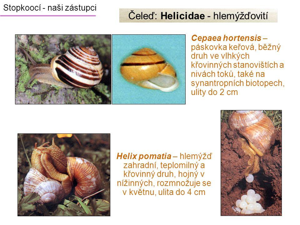 Cepaea hortensis – páskovka keřová, běžný druh ve vlhkých křovinných stanovištích a nivách toků, také na synantropních biotopech, ulity do 2 cm Čeleď:
