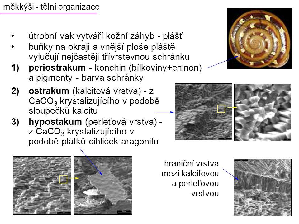 útrobní vak vytváří kožní záhyb - plášť buňky na okraji a vnější ploše pláště vylučují nejčastěji třívrstevnou schránku 1)periostrakum - konchin (bílk