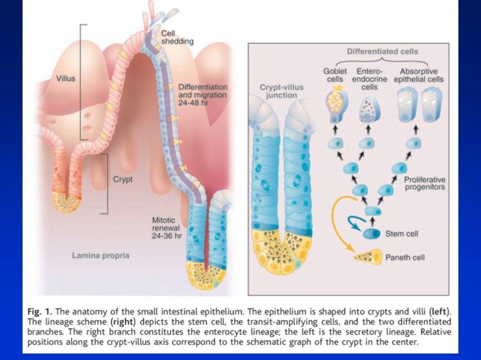 Model signálů dráhy Wnt Podpora karcinogeneze Normální stav