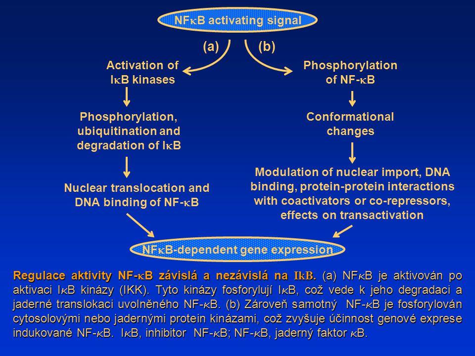 (a) Regulace aktivity NF-  B závislá a nezávislá na IkB. (a) NF  B je aktivován po aktivaci I  B kinázy (IKK). Tyto kinázy fosforylují I  B, což v