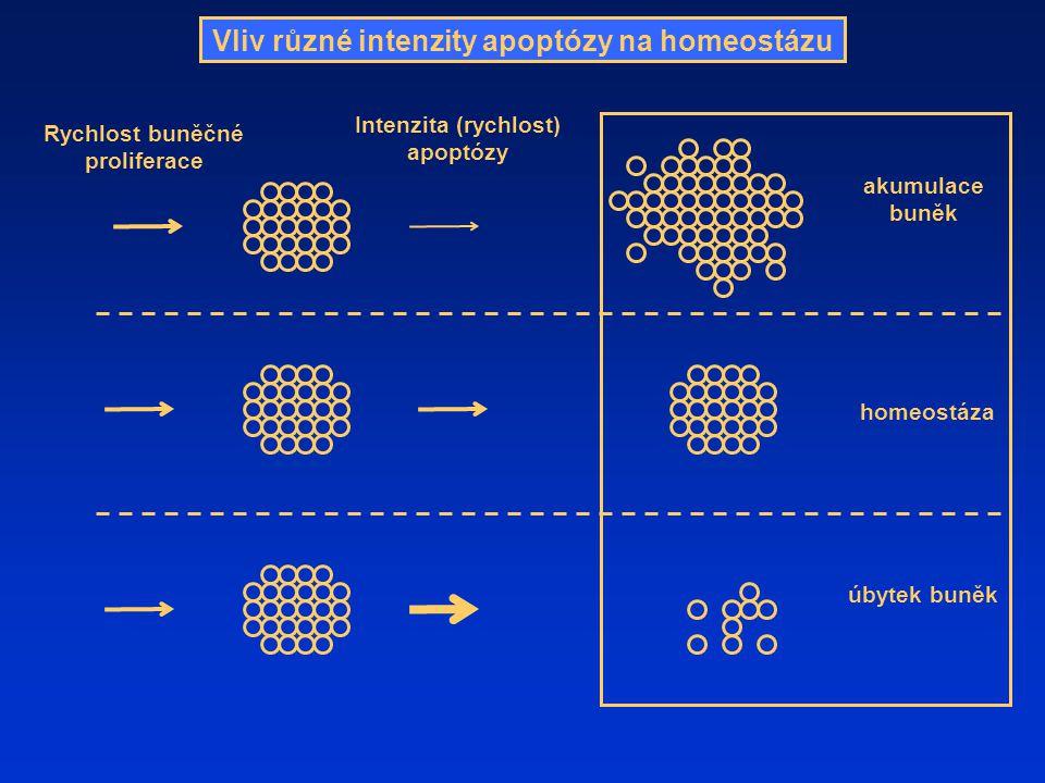Vliv různé intenzity apoptózy na homeostázu Intenzita (rychlost) apoptózy Rychlost buněčné proliferace homeostáza akumulace buněk úbytek buněk