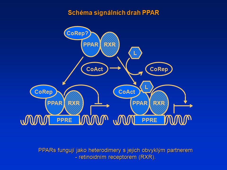 Schéma signálních drah PPAR PPARs fungují jako heterodimery s jejich obvyklým partnerem - retinoidním receptorem (RXR). L PPAR RXR CoRep CoActCoRep Co
