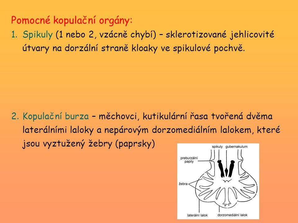 Pomocné kopulační orgány: 1.Spikuly (1 nebo 2, vzácně chybí) – sklerotizované jehlicovité útvary na dorzální straně kloaky ve spikulové pochvě.