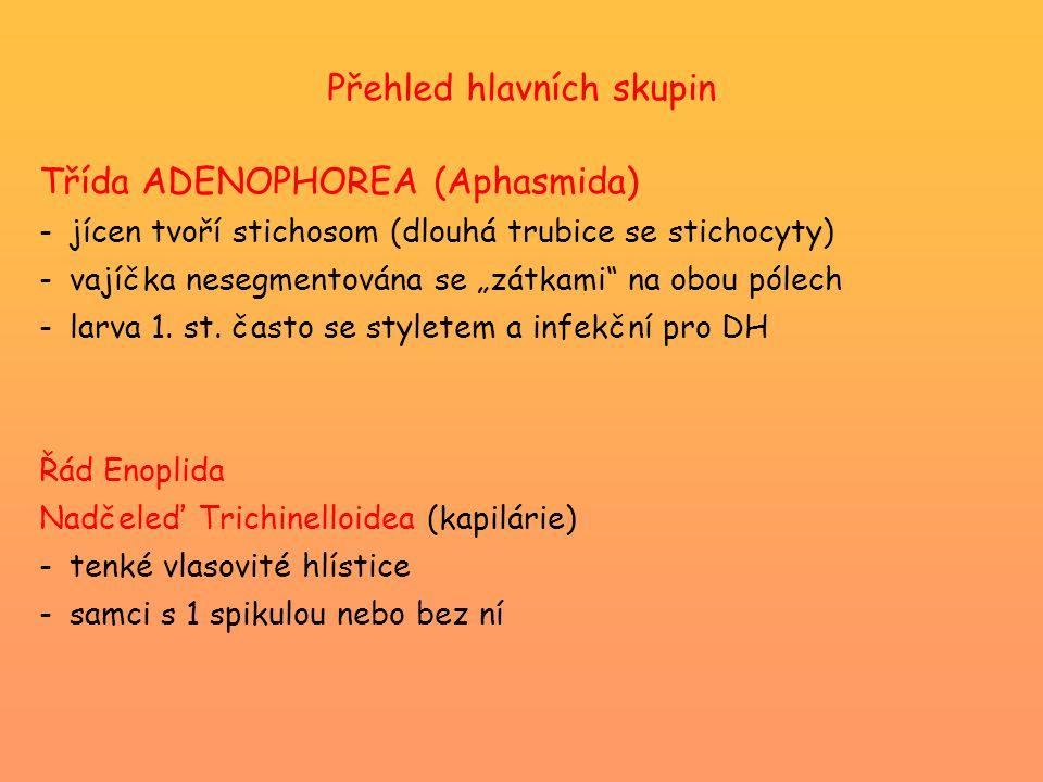 """Přehled hlavních skupin Třída ADENOPHOREA (Aphasmida) -jícen tvoří stichosom (dlouhá trubice se stichocyty) -vajíčka nesegmentována se """"zátkami na obou pólech -larva 1."""