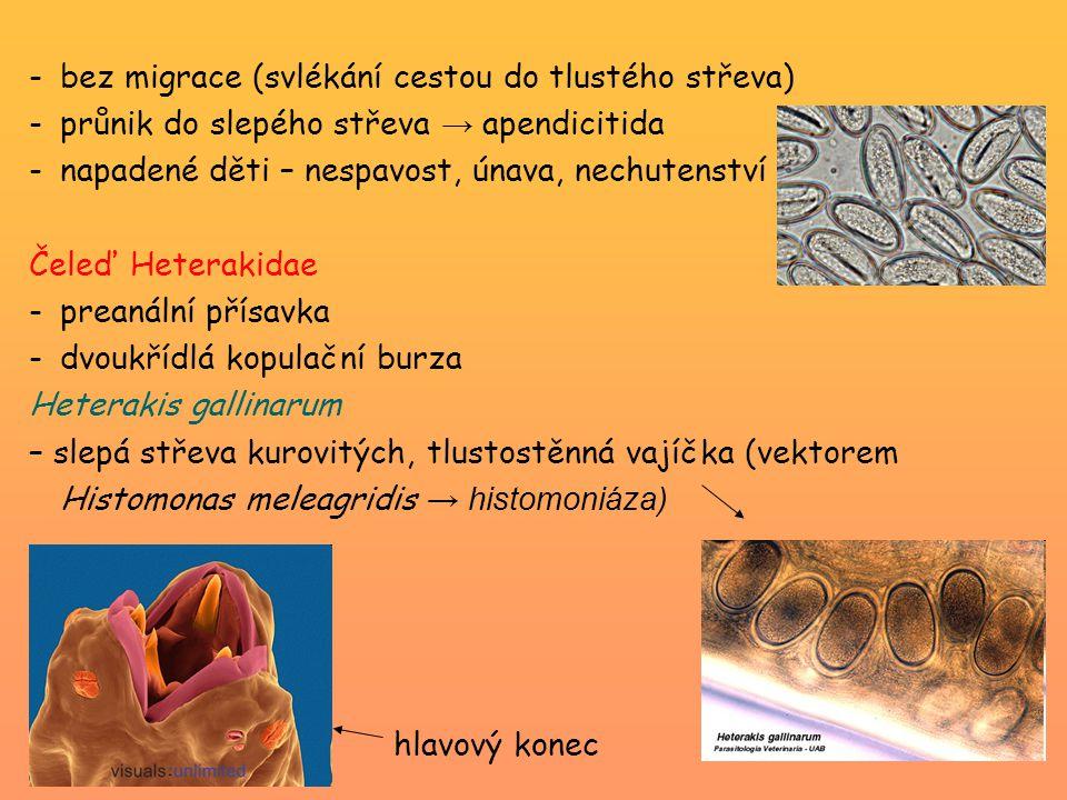 -bez migrace (svlékání cestou do tlustého střeva) -průnik do slepého střeva → apendicitida -napadené děti – nespavost, únava, nechutenství Čeleď Heterakidae -preanální přísavka -dvoukřídlá kopulační burza Heterakis gallinarum – slepá střeva kurovitých, tlustostěnná vajíčka (vektorem Histomonas meleagridis → histomoniáza) hlavový konec