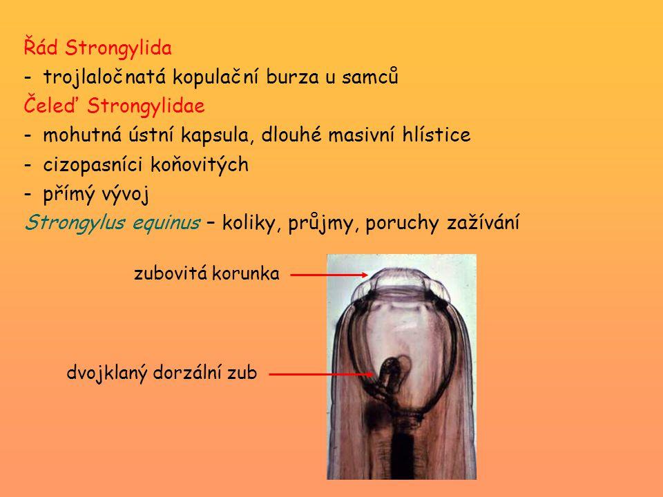 Řád Strongylida -trojlaločnatá kopulační burza u samců Čeleď Strongylidae -mohutná ústní kapsula, dlouhé masivní hlístice -cizopasníci koňovitých -přímý vývoj Strongylus equinus – koliky, průjmy, poruchy zažívání zubovitá korunka dvojklaný dorzální zub