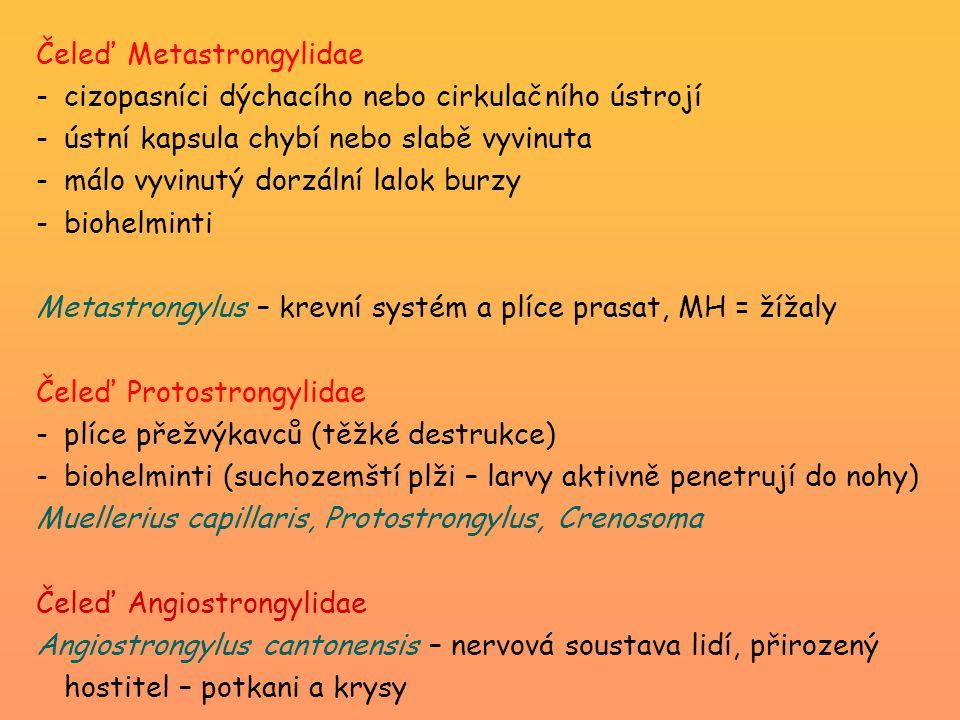 Čeleď Metastrongylidae -cizopasníci dýchacího nebo cirkulačního ústrojí -ústní kapsula chybí nebo slabě vyvinuta -málo vyvinutý dorzální lalok burzy -biohelminti Metastrongylus – krevní systém a plíce prasat, MH = žížaly Čeleď Protostrongylidae -plíce přežvýkavců (těžké destrukce) -biohelminti (suchozemští plži – larvy aktivně penetrují do nohy) Muellerius capillaris, Protostrongylus, Crenosoma Čeleď Angiostrongylidae Angiostrongylus cantonensis – nervová soustava lidí, přirozený hostitel – potkani a krysy