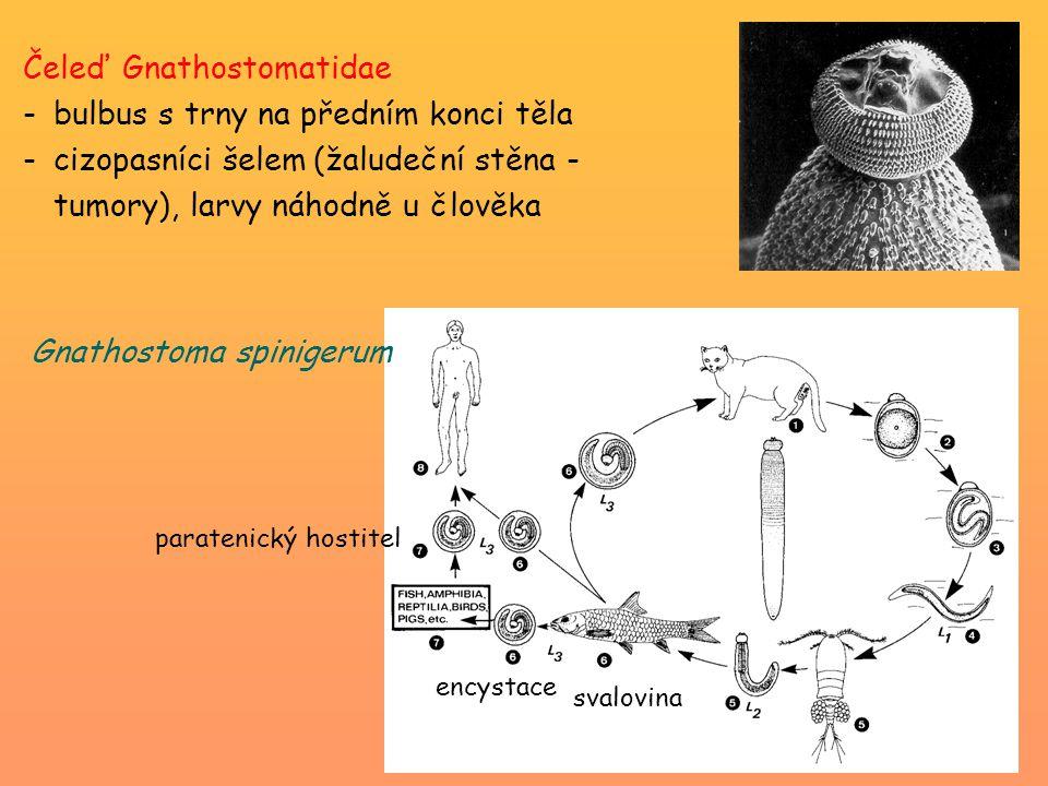 Čeleď Gnathostomatidae -bulbus s trny na předním konci těla -cizopasníci šelem (žaludeční stěna - tumory), larvy náhodně u člověka paratenický hostitel svalovina encystace Gnathostoma spinigerum