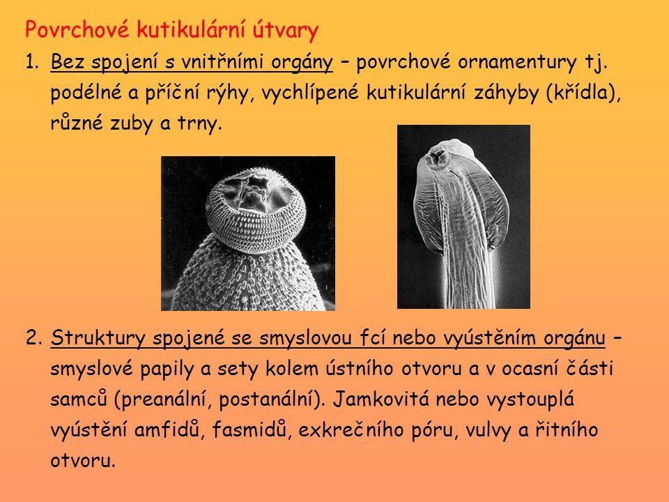 Řád Rhabditida geohelminti rhabditoidní typ jícnu většina volně žijící nebo škůdci rostlin (Heterodera), malá část parazitická Strongyloides stercoralis (hádě střevní) -parazit tenkého střeva člověka a primátů -délka 12 mm -nákaza pozřením kontaminované potravy nebo kontaktem s larvami v mokré hlíně -průjmy, nechutenství, těžké enteritidy -VC: střídání generací (parazitické partenogenetické samice a volně žijící generace obou pohlaví) -oportunní parazitóza (imunosupresiva, HIV, …)
