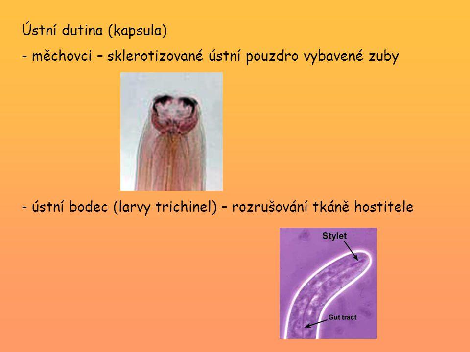 Čeleď Ancylostomatidae (měchovci) -ústní kapsula se zuby Ancylostoma duodenale (měchovec dvanácterníkovitý) -cizopasník duodena člověka, primátů, prasat, koček -teplejší oblasti, často v dolech nebo tunelech -samec přes 1 cm, samice 2 cm přední konec těla zadní konec těla