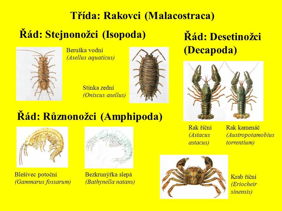 Třída: Rakovci (Malacostraca) Řád: Stejnonožci (Isopoda) Beruška vodní (Asellus aquaticus) Stínka zední (Oniscus asellus) Řád: Různonožci (Amphipoda)