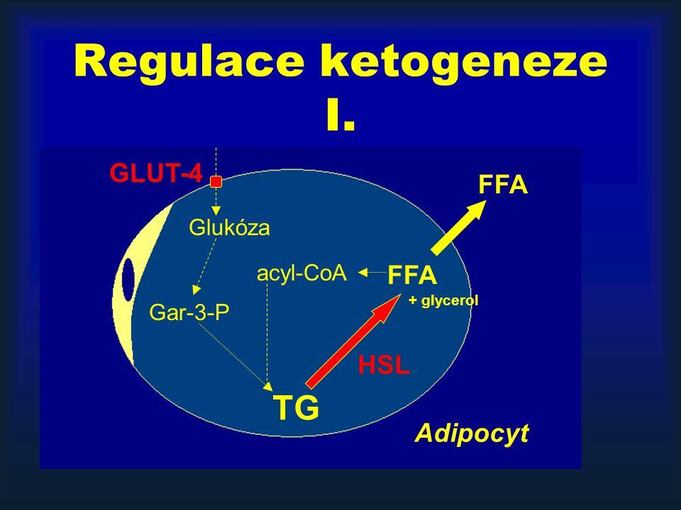 Regulace ketogeneze I. TG FFA + glycerol Glukóza Gar-3-P acyl-CoA HSL GLUT-4 FFA Adipocyt
