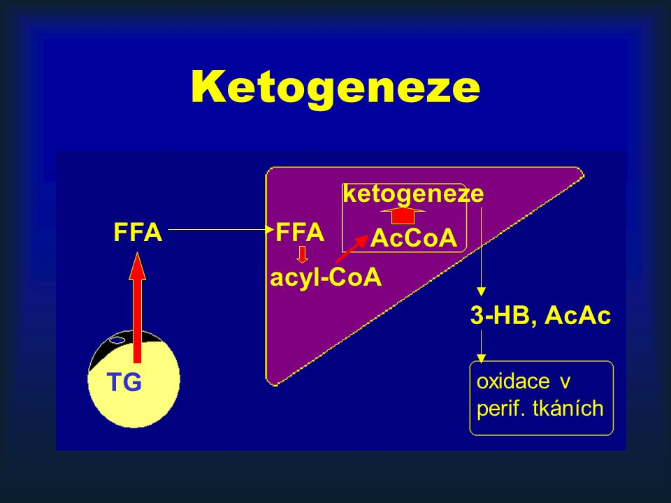 Ketogeneze TG FFA acyl-CoA AcCoA 3-HB, AcAc oxidace v perif. tkáních FFA ketogeneze