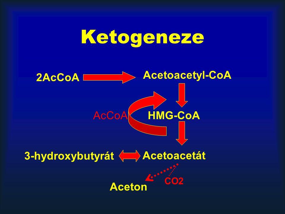 Ketogeneze HMG-CoA Acetoacetyl-CoA AcCoA Acetoacetát 3-hydroxybutyrát Aceton 2AcCoA CO2