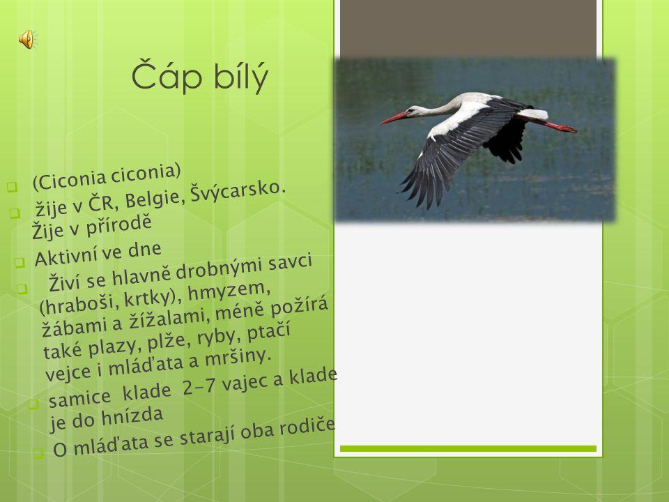 Čáp bílý  (Ciconia ciconia)  žije v ČR, Belgie, Švýcarsko. Žije v přírodě  Aktivní ve dne  Živí se hlavně drobnými savci (hraboši, krtky), hmyzem,