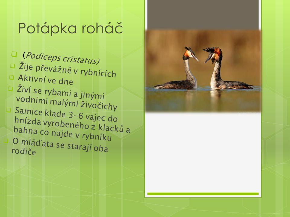 Potápka roháč  (Podiceps cristatus)  Žije převážně v rybnících  Aktivní ve dne  Živí se rybami a jinými vodními malými živočichy  Samice klade 3-