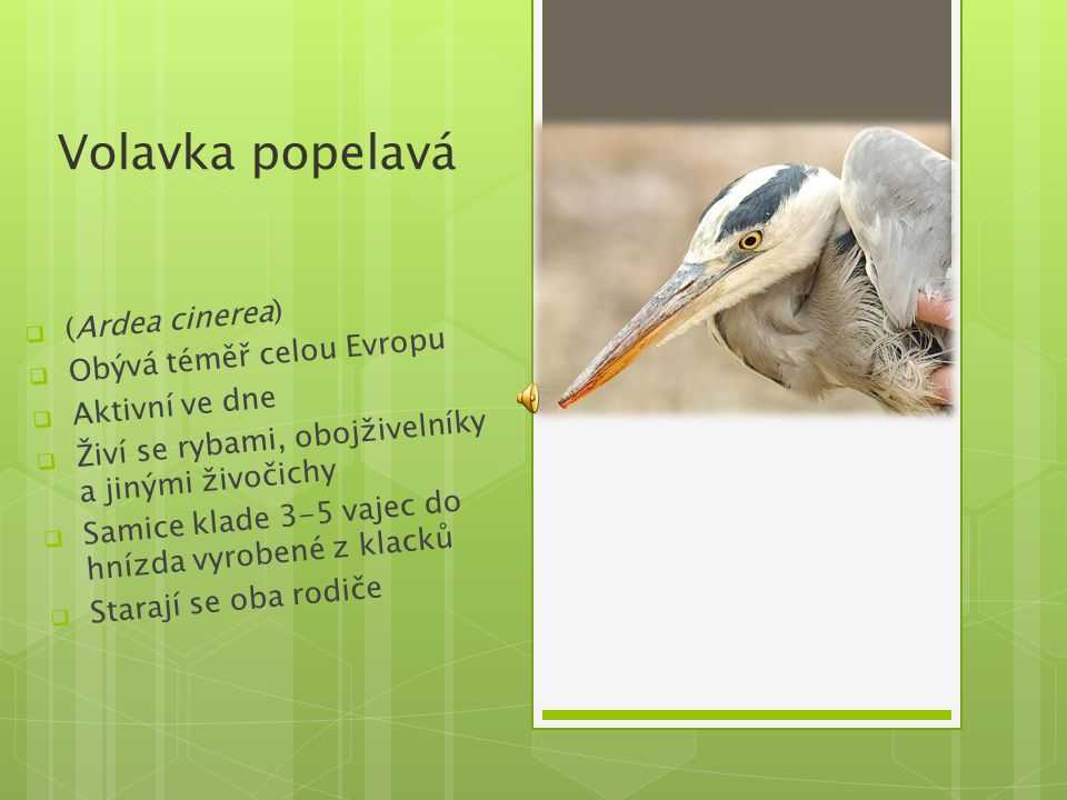 Volavka popelavá  (Ardea cinerea)  Obývá téměř celou Evropu  Aktivní ve dne  Živí se rybami, obojživelníky a jinými živočichy  Samice klade 3-5 v