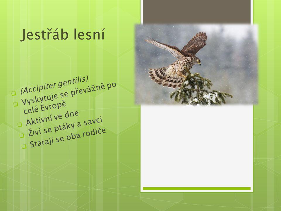 Jestřáb lesní  (Accipiter gentilis)  Vyskytuje se převážně po celé Evropě  Aktivní ve dne  Živí se ptáky a savci  Starají se oba rodiče